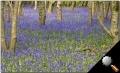 bluebellsinwoods.jpg